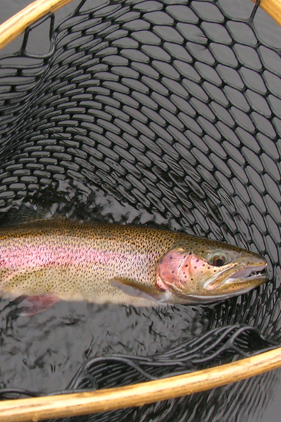 Blue Heron Fly Fishing - Bingham Rainbow Trout